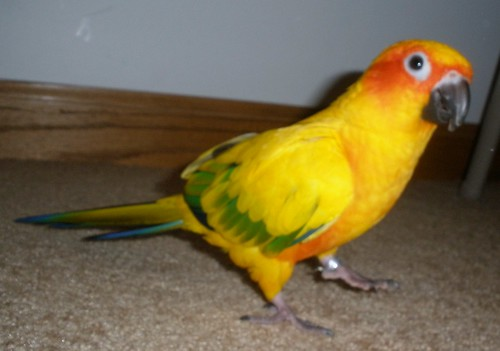 Blaze the Sun Conure! :D