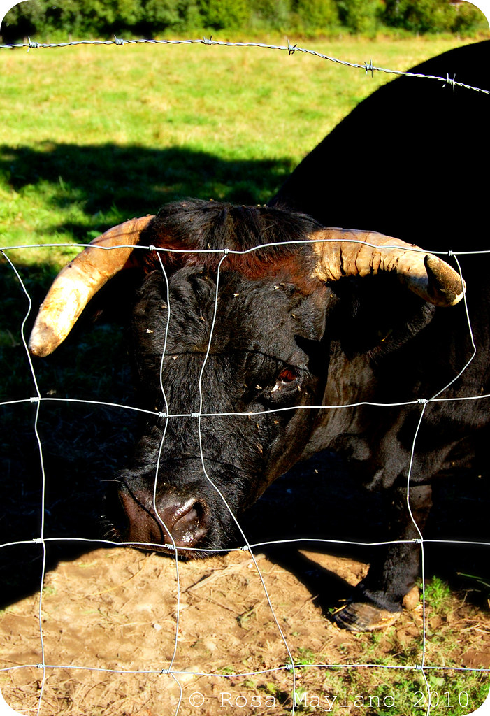 Cows 2.1 bis