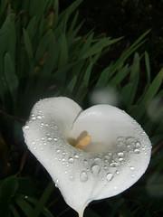 cala del volcán Irazú (IDIAY) Tags: flores calla paisaje cala landscpe delvolcánirazú