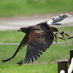 Harris Hawk Launch Pad (Heaven`s Gate (John)) Tags: england bird nature flying dangerous wings hawk flight beak feathers harris creature takeoff avian launchpad warwickcastle harrishawk 10faves johndalkin heavensgatejohn colorphotoaward