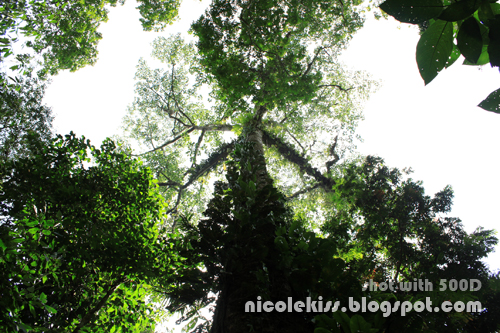 tall tree in rainforest