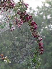 Hawthorn Web (jo92photos) Tags: uk autumn england mist fog rural countryside berries farm wildlife web spiderweb berkshire hawthorn countrylife morming allrightsreserved westberkshire challengegamewinner s100fs jo92photos