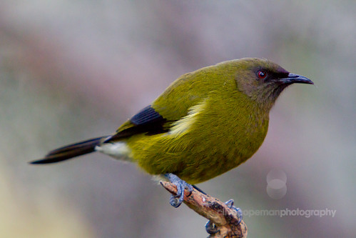 Orokonui Bellbird
