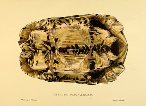 003A-Testudos Pardalis Bell anverso-Tortoises terrapins and turtles..1872-James Sowerby