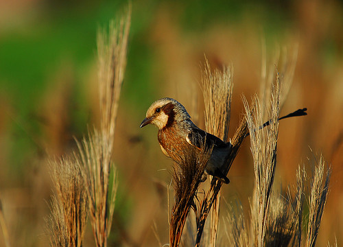 birds animals tesoura-do-brejo Gubernetes yetalpa Streamer-tailed Tyrant favorites