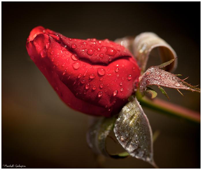 During Rain Rose