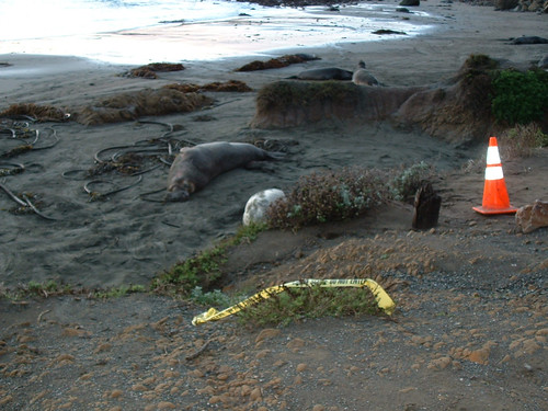 Seals on Highway One