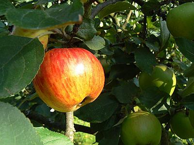 pomme orange.jpg