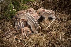 Wild boar Vildsvin (Sus scrofa) (Hans Olofsson) Tags: nature wildlife natur wildboar vilt vildsvin damadama susscrofa ungar nyfött kulltingar
