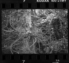 Simian on the Canonball tree (khai_nomore) Tags: street bw film 35mm georgetown negative scanned penang kodaktmax400 rm wideopen alif olympusom2n 2400dpi ilfordrapidfix canonscan8400f autaut 4002tmy fzuiko50mmf18 4minfix tmaxdeveloper1100 1hr40minutesstanddevelopment noaggitation