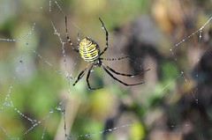 spider, spider burning bright (christiaan_25) Tags: morning light shadow black wet yellow diamonds spider dewdrops droplets drops saturated legs bokeh stripes web spiderweb sparkle dew gems sparkling hairs orbweaver strands argiopetrifasciata bandedgardenspider