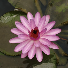 Water lily (ddsnet) Tags: plant flower waterlily sony aquatic  aquaticplants 900        tetragona water  900 lily nymphaeatetragona    plants flowerinjapan aquatic nymphaea tetragona plantsnymphaea