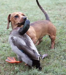 Love at First Sight (Yer Photo Xpression) Tags: dog pets bird animal duck dachshund mallard canonef35350mmf3556lusm canoneos40d ronmayhew