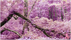 Pink Forest - trees (blmiers2) Tags: pink trees newyork nature beautiful leaves forest landscape woods nikon colorful purple unique foliage coolpix lovely breastcancerawareness picnik pinkribbon s3000 cmwd cmwdpink thinkpinkforbreastcancerawareness blm18 blmiers2