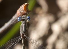 "Dragonfly blue eyes fr above • <a style=""font-size:0.8em;"" href=""http://www.flickr.com/photos/30765416@N06/5071921709/"" target=""_blank"">View on Flickr</a>"