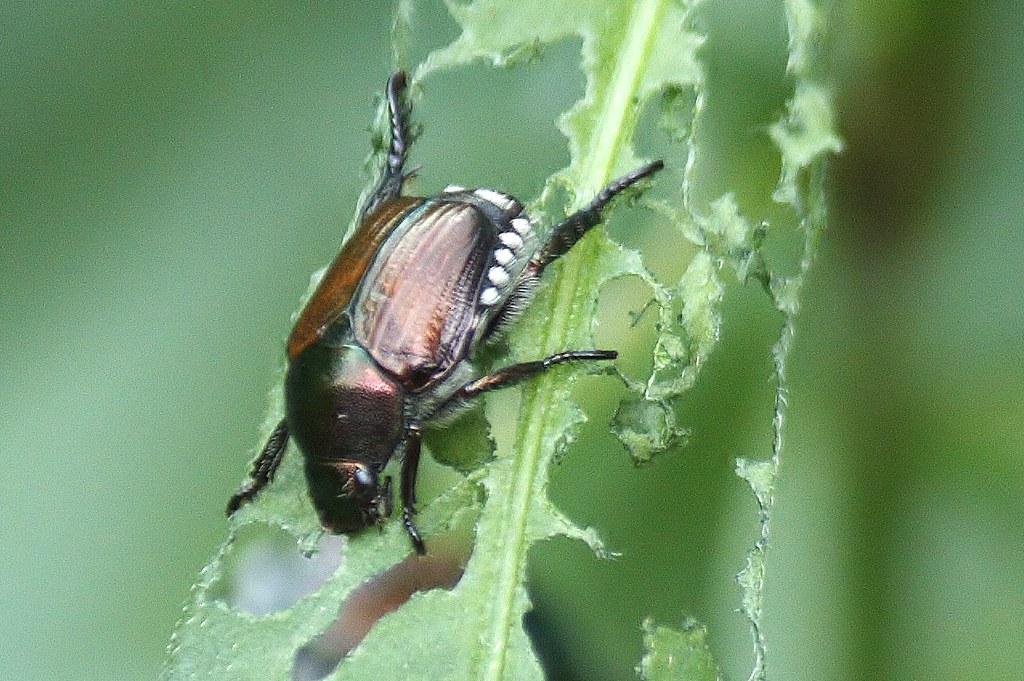 Japanese beetle (4)