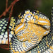 Wagler's pit viper (detail)
