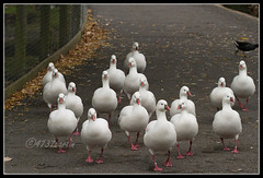 Ross's Goose (4737 Carlin) Tags: england lake bird water river garden outdoors geese duck pond stream martin wildlife reserve waterbird goose lancashire naturereserve 7d wetlands trust mallard waterfowl burscough wwt wetland wildfowl 200mm martinmere chenrossii canon70200mm rossgoose canonef70200mmf4lusm siteofspecialscientificinterest wildfowlwetlandstrust specialprotectionarea anserrossii ramsarsite eos7d canoneos7d wildfowlreserve canon7d martinmerenaturereserve wetlandnaturereserve