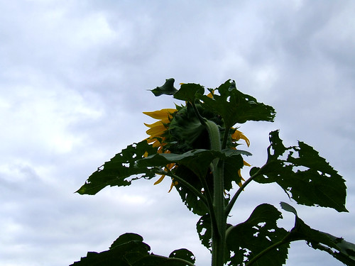 Sunflower 98531