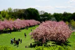 Like a shade from the sun (neelgolapi) Tags: pink trees green cherry lost miniature spring blossom fake bbg october17 tiltshift tiltshiftfake cherryblossomesplanade