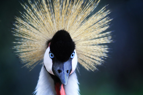 フリー写真素材, 動物, 鳥類, ツル科, ホオジロカンムリヅル,