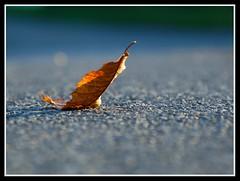 Gone but not forgotten...... (Levels Nature) Tags: uk autumn light england macro nature leaf somerset westonzoyland topshots natureselegantshots blinkagain