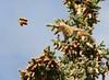 Preparing for winter (Rebecca Tifft) Tags: tree alaska squirrel cone denali spruce redsquirrel denalinationalpark sprucecone