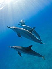Hawaiian Spinner Dolphins (stenella longirostris) (bodiver) Tags: ambientlight wideangle freediving dolphins 441 fins orcadivers