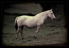Caballo (Jose.Rubio) Tags: horse pose caballo cheval nikon perfil bosque prado francia calma loh pirineo espritu aquitaine blueribbonwinner sosiego d80 fineartphotos joserubio anawesomeshot nikonflickraward specialshotswelltaken topsevengroup