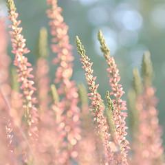 So gay... (Aspiriini) Tags: pink flower bokeh heather calluna kukka callunavulgaris kanerva canonefs1755f28isusm jonilehto aspiriini