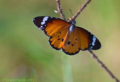 Plain Tiger ( Danaus chrysippus) (Tony Fernando) Tags: macro photography shot photos tiger butterflies snap images photographs srilanka plain stockphoto danaus stockphotography chrysippus stockimagery srilankanimages visitsrilanka2011 tonyfernando