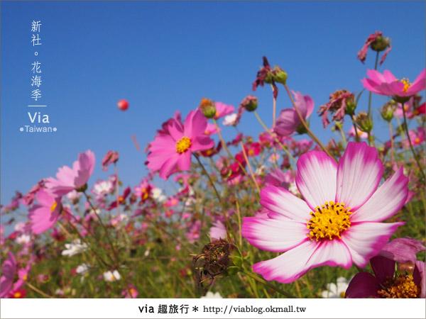 【2010新社花海】via帶大家欣賞全台最美的花海!19