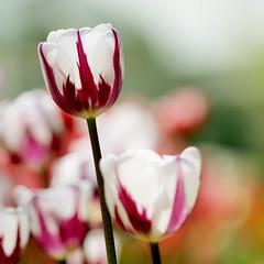 Shine (neelgolapi) Tags: flower canon spring bokeh tulip bbg lale canonef70200mmf40lusm