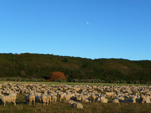 is there any sheep in new zealand?