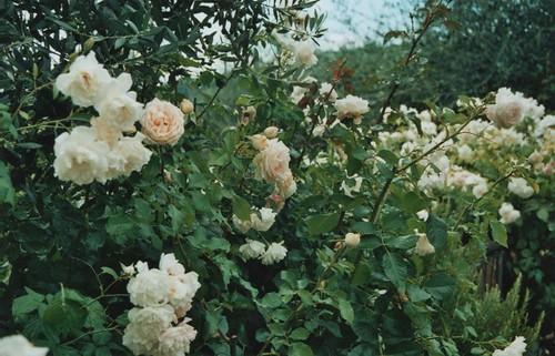 the beast's rose garden
