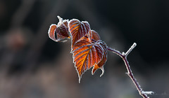 Frosty Morning (Don Komarechka) Tags: morning autumn winter cold ice nature leaves closeup canon leaf frost bokeh backlit barrie simcoecounty canoneos5dmarkii