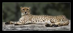 Marwell Cheetah (JKmedia) Tags: animals wooden feline wildlife platform spots bigcat cheetah endangered marwell marwellzoo canoneos40d jkmedia flickrbigcats pregamesweepwinner theduelpregamesweepwinnersonly pregameduelwinner