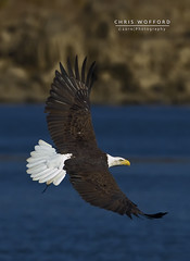 Bald Eagle (Chris Wofford) Tags: blue chris wild brown white bird nature water beautiful beauty nova birds america canon fly flying wings md rocks natural eagle dam wildlife flight baldeagle feathers bald maryland national american raptor 7d prey fowl usm 500mm majestic eagles ef f4 mothernature geographic birdsofprey whitetail naturally 2010 watcher feathery birdwatcher conowingo wofford conowingodam closetonature specanimal avianexcellence chriswofford