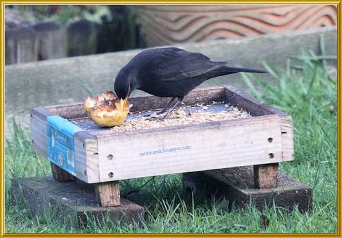 Blackbird and Apple 3
