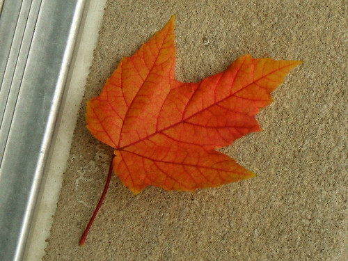 Maple Leaf - Nov 2010