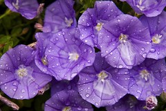 After the rain (transaero) Tags: flowers flower water rain canon drops drop fresh full after canberra 1785mm freshness 40d