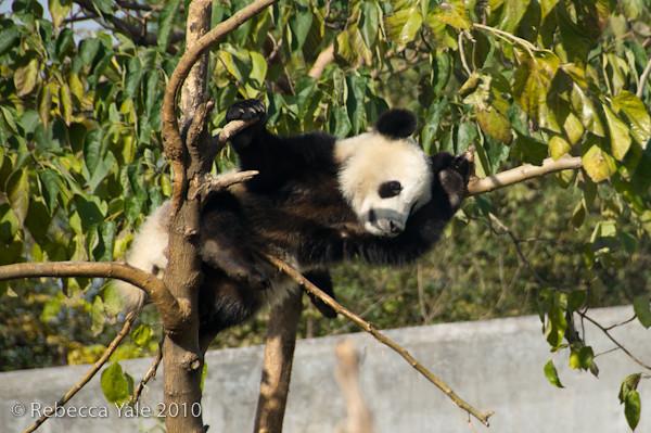 RYALE_Panda_Bears_17