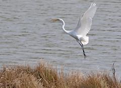 Egret Launch (hallograph(Jake Hall)) Tags: ocean bird beach coast nc north shore carolina outer egret banks obx