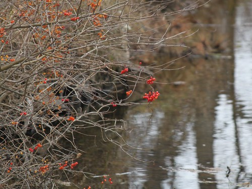 Red Berries Over River