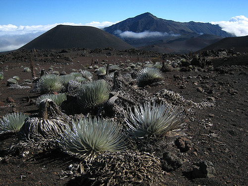 Silverswords in Haleakala Crater