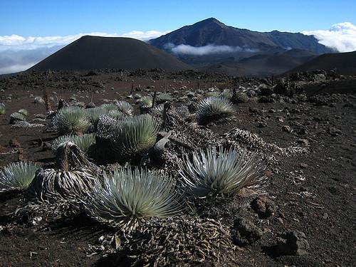 Silverswords in Haleakala Crater