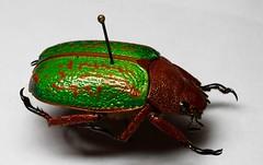Chrysina victorina (Mashku) Tags: beetles coleoptera rutelinae chrysina rutelini
