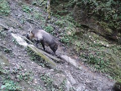 Takin (eMammal) Tags: takin budorcastaxicolor otherhoovedmammals taxonomy:group=otherhoovedmammals taxonomy:species=budorcastaxicolor taxonomy:common=takin siwild:species=12 siwild:study=wolongcameratrapsurvey siwild:region=china siwild:date=200810031431000 siwild:studyId=wolongbaitedsets siwild:plot=wolong siwild:location=lwwl08811a siwild:trigger=wwl08811a01260 siwild:imageid=wwl08811a01260 siwild:camDeploy=chinadeploy194 sequence:id=wwl08811a01260 sequence:index=1 sequence:length=1 sequence:key=1 BR:batch=sla0620101119044543 file:name=wwl08811a01260jpg file:path=dchinachinacameraimagedigitalafter2008wolongnaturereservewwl08811a01wwl08811a01260jpg geo:lon=30873 geo:lat=103173 geo:locality=china wolong