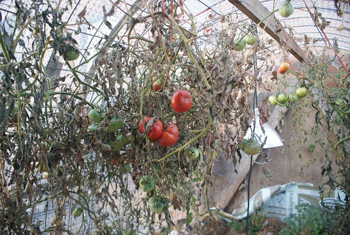 Mostly dead plants, but nice slow-ripening tomatoes