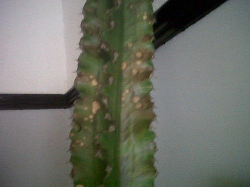 Cacti Brown Spots